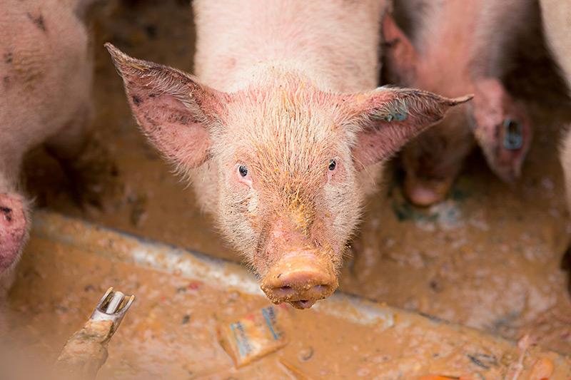 Las Vegas Livestock - Pigs